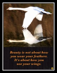 Swan quote, wings