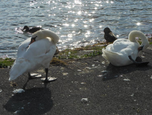 swans and ducks cleaning feathers