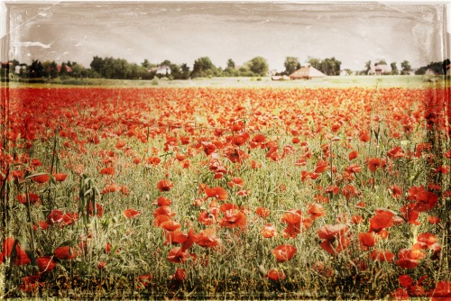Poppies Vintage